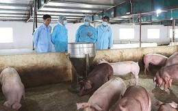 Ban Bí thư ban hành Chỉ thị về thực hiện phòng, chống, khống chế dịch tả lợn châu Phi